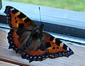 Small Tortoiseshell on 26 November 2008 (photo by Jane Bowman)