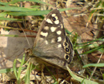Speckled Wood at Culbin (photo by Bill Slater)