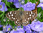 Speckled Wood at Portmahomack (K Birch)