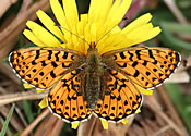 Pearl-bordered Fritillary, Rogart (photo by Tony Mainwood)